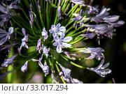 Купить «Blaue Schmucklilie», фото № 33017294, снято 5 июня 2020 г. (c) easy Fotostock / Фотобанк Лори
