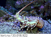 Лангуст (Achelata) в аквариуме. Стоковое фото, фотограф Татьяна Белова / Фотобанк Лори