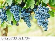 Купить «red grape bunch on vineyard. harvest for wine production», фото № 33021734, снято 18 сентября 2015 г. (c) Дмитрий Калиновский / Фотобанк Лори