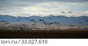 Купить «Cranes birds (Grullas) calling in harvested fields in autumn», фото № 33027610, снято 1 июля 2020 г. (c) Яков Филимонов / Фотобанк Лори