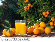 Купить «Jug and glasses of freshly squeezed orange juice with oranges in an outdoor setting during summer», фото № 33027642, снято 26 мая 2020 г. (c) Яков Филимонов / Фотобанк Лори