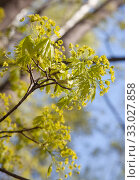Купить «Цветение клена остролистного (Acer platanoides)», фото № 33027858, снято 30 апреля 2019 г. (c) Наталия Шевченко / Фотобанк Лори