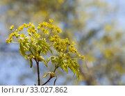 Купить «Цветение клена остролистного (Acer platanoides)», фото № 33027862, снято 30 апреля 2019 г. (c) Наталия Шевченко / Фотобанк Лори