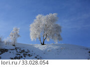 Купить «White birch in snowy hoarfrost in the early winter morning and blue sky», фото № 33028054, снято 1 февраля 2020 г. (c) Яна Королёва / Фотобанк Лори