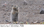 Curious Arctic gopher, carefully looking at camera. Wild animal of genus rodents squirrel family. Стоковое видео, видеограф А. А. Пирагис / Фотобанк Лори