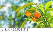 Купить «Фортунелла (кумкват, кинкан), растущая в саду. Summer background. Kumquat fruits in summer garden, closeup. Fortunella margarita kumquats», фото № 33039318, снято 6 июня 2019 г. (c) Зезелина Марина / Фотобанк Лори