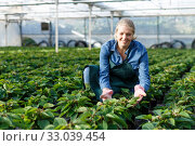 Купить «Young female gardener in gloves working with seedlings of euphorbia pulcherrima in pots», фото № 33039454, снято 3 октября 2018 г. (c) Яков Филимонов / Фотобанк Лори