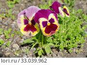 Фиалка трехцветная (лат. Viola tricolor), или анютины глазки цветет в саду. Стоковое фото, фотограф Елена Коромыслова / Фотобанк Лори