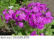 Примула кортузовидная (лат. Рrimula cortusoides L.) цветет в саду. Стоковое фото, фотограф Елена Коромыслова / Фотобанк Лори