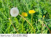 Белый одуванчик (лат. Taraxacum) на фоне цветущих желтых одуванчиков. Стоковое фото, фотограф Елена Коромыслова / Фотобанк Лори