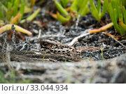 Купить «Fiery-necked nightjar (Caprimulgus pectoralis) on nest incubating eggs, Herold's Bay, Garden Route, Western Cape Province, south Africa.», фото № 33044934, снято 22 февраля 2020 г. (c) Nature Picture Library / Фотобанк Лори