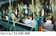 Купить «Cows with milking machine at rotary parlour system of dairy farm», видеоролик № 33045406, снято 11 июня 2019 г. (c) Яков Филимонов / Фотобанк Лори