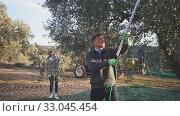 Купить «People harvesting olives from tree on plantation on sunny autumn day. Family farm concept», видеоролик № 33045454, снято 20 февраля 2020 г. (c) Яков Филимонов / Фотобанк Лори