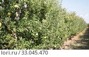 Купить «Ripe apples in a wooden crate in the garden», видеоролик № 33045470, снято 28 сентября 2019 г. (c) Яков Филимонов / Фотобанк Лори
