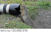 Купить «Hungry Arctic ground squirrel eating nuts, posing in front of camera», видеоролик № 33050510, снято 30 августа 2019 г. (c) А. А. Пирагис / Фотобанк Лори