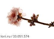 Купить «Цветущие ветки миндаля на белом фоне», фото № 33051574, снято 21 января 2020 г. (c) Tamara Kulikova / Фотобанк Лори