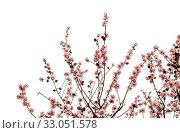 Купить «Цветущие ветки миндаля на белом фоне», фото № 33051578, снято 21 января 2020 г. (c) Tamara Kulikova / Фотобанк Лори