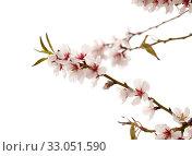 Купить «Цветущие ветки миндаля на белом фоне», фото № 33051590, снято 21 января 2020 г. (c) Tamara Kulikova / Фотобанк Лори