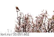 Купить «Цветущие ветки миндаля на белом фоне», фото № 33051602, снято 21 января 2020 г. (c) Tamara Kulikova / Фотобанк Лори
