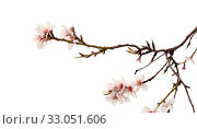 Купить «Цветущие ветки миндаля на белом фоне», фото № 33051606, снято 21 января 2020 г. (c) Tamara Kulikova / Фотобанк Лори