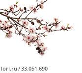 Купить «Цветущие ветки миндаля на белом фоне», фото № 33051690, снято 26 января 2020 г. (c) Tamara Kulikova / Фотобанк Лори