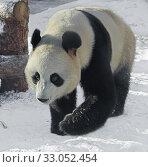 Купить «Giant panda (Ailuropoda melanoleuca), also known as panda bear or simply panda, on snow», фото № 33052454, снято 8 февраля 2020 г. (c) Валерия Попова / Фотобанк Лори
