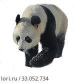 Купить «Giant panda (Ailuropoda melanoleuca), also known as panda bear or simply panda, on white background», фото № 33052734, снято 8 февраля 2020 г. (c) Валерия Попова / Фотобанк Лори