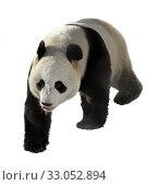 Купить «Giant panda with protruding tongue on white background», фото № 33052894, снято 8 февраля 2020 г. (c) Валерия Попова / Фотобанк Лори