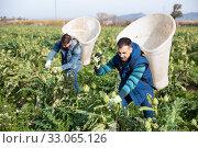 Workers gathering in crops of rartichokes. Стоковое фото, фотограф Яков Филимонов / Фотобанк Лори