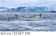Купить «Humback Baleen Whale Tail Chasing Krill Blue Glaciers Sea Water Charlotte Bay Antarctic Peninsula Antarctica.», фото № 33067150, снято 26 августа 2019 г. (c) easy Fotostock / Фотобанк Лори