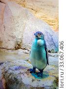 Пингвин Гумбольдта. Стоковое фото, фотограф Владимир Устенко / Фотобанк Лори