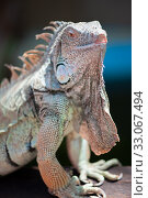 Купить «A male green iguana or american iguana with spines and dewlap a large neck bag», фото № 33067494, снято 25 июля 2016 г. (c) katalinks / Фотобанк Лори