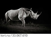 Black rhinoceros (Diceros bicornis) at night, Tsavo West National... Стоковое фото, фотограф Will Burrard-Lucas / Nature Picture Library / Фотобанк Лори