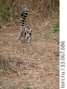 Купить «Ring tailed lemur (Lemur catta) mother carrying twins on forest floor, Anja Community Reserve,  Ambalavao, Madagascar.», фото № 33067686, снято 22 февраля 2020 г. (c) Nature Picture Library / Фотобанк Лори