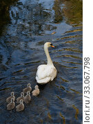 Купить «Mute swan (Mute swan (Cygnus olor) cygnets following parent swimming. London, UK. April», фото № 33067798, снято 6 августа 2020 г. (c) Nature Picture Library / Фотобанк Лори