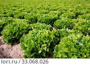 Field planted with green endive. Стоковое фото, фотограф Яков Филимонов / Фотобанк Лори