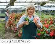 Female florist with scissors gardening red begonia plants in greenhouse. Стоковое фото, фотограф Яков Филимонов / Фотобанк Лори