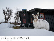 Купить «Mountain hare (Lepus timidus) in spring outside a Norwegian house, Vauldalen, Norway, May.», фото № 33075278, снято 5 июня 2020 г. (c) Nature Picture Library / Фотобанк Лори
