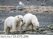 Купить «Polar bear (Ursus maritimus) female and juvenile on coast, Svalbard, Norway, August.», фото № 33075286, снято 22 февраля 2020 г. (c) Nature Picture Library / Фотобанк Лори