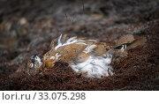 Купить «Rock Ptarmigan (Lagopus muta hyperborea) dust bathing, Svalbard, Norway, July.», фото № 33075298, снято 22 февраля 2020 г. (c) Nature Picture Library / Фотобанк Лори
