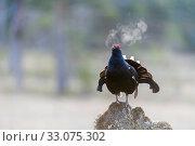 Купить «Black grouse (Lyrurus tetrix)male calling, early in the morning, Norway, May.», фото № 33075302, снято 21 февраля 2020 г. (c) Nature Picture Library / Фотобанк Лори