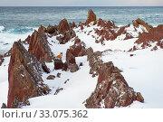 Купить «Red fox (Vulpes vulpes) at the coast in Varanger, Finnmark, Norway, March.», фото № 33075362, снято 26 февраля 2020 г. (c) Nature Picture Library / Фотобанк Лори