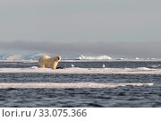 Купить «Polar bear (Ursus maritimus), male with his prey in the drift ice, Svalbard, Norway, July.», фото № 33075366, снято 23 февраля 2020 г. (c) Nature Picture Library / Фотобанк Лори