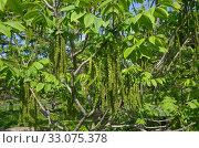 Маньчжурский орех (лат. Juglans mandshurica) весенним днем. Стоковое фото, фотограф Елена Коромыслова / Фотобанк Лори