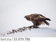 Купить «Golden eagle (Aquila chrysaetos) feeding on grouse,Oulanka National Park, Kuusamo, Finland, January.», фото № 33079786, снято 21 февраля 2020 г. (c) Nature Picture Library / Фотобанк Лори