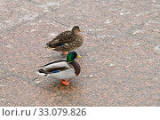 Купить «Mallard Duck. A drake and  female mallard», фото № 33079826, снято 30 января 2020 г. (c) Знаменский Олег / Фотобанк Лори