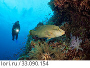 Купить «Scuba Diver and Napoleon Wrasse, Cheilinus undulatus, Brother Islands, Red Sea, Egypt», фото № 33090154, снято 4 июля 2020 г. (c) age Fotostock / Фотобанк Лори