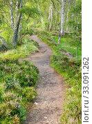 Купить «Footpath in the birch forest, Craigellachie Nationwide Nature reserve, Scotland», фото № 33091262, снято 7 апреля 2020 г. (c) age Fotostock / Фотобанк Лори