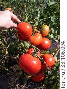 Купить «Organic Red ripe tomatoes in a female hand in the garden», фото № 33106094, снято 25 августа 2018 г. (c) Володина Ольга / Фотобанк Лори