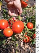 Купить «Organic Red ripe tomatoes in a female hand in the garden», фото № 33106102, снято 25 августа 2018 г. (c) Володина Ольга / Фотобанк Лори